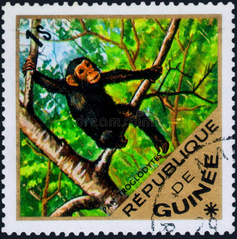 Saint Petersburg, Russia - March 06, 2020: Postage stamp issued in the Guinea with the image of the Chimpanzee, Pan troglodytes,. Saint Petersburg, Russia royalty free stock images