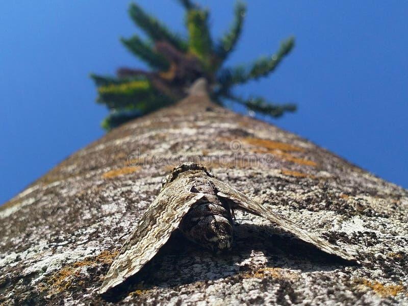 Saint Vincent och Grenadinerna mal som kamouflerar på ett träd royaltyfri foto