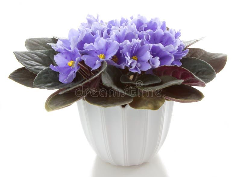 saintpaulia бака цветков цветка стоковое фото