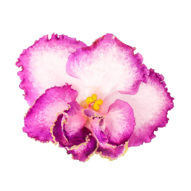 Saintpaulia, African violet or home violet close-up, macro on an isolated white background. Pink-white hybrid home violet stock photo