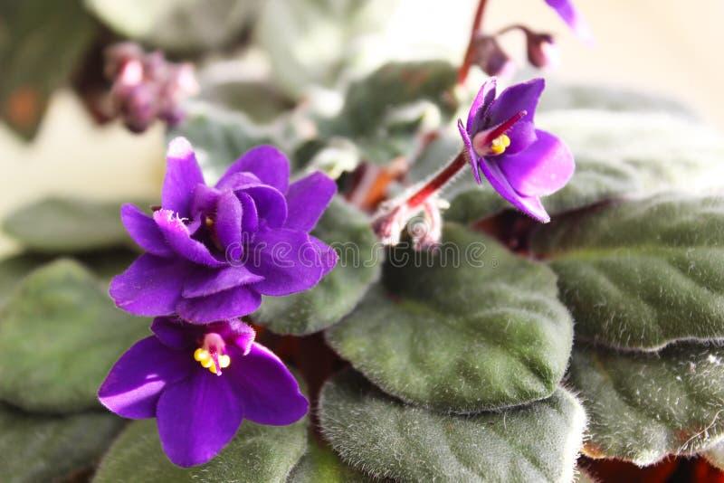 Saintpaulia or African Violet stock image