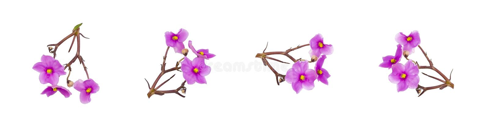Saintpaulia African violets pink flowers isolated on white background royalty free stock photography