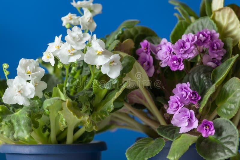 Saintpaulia blanco y púrpura violeta floral con la luz natural imágenes de archivo libres de regalías