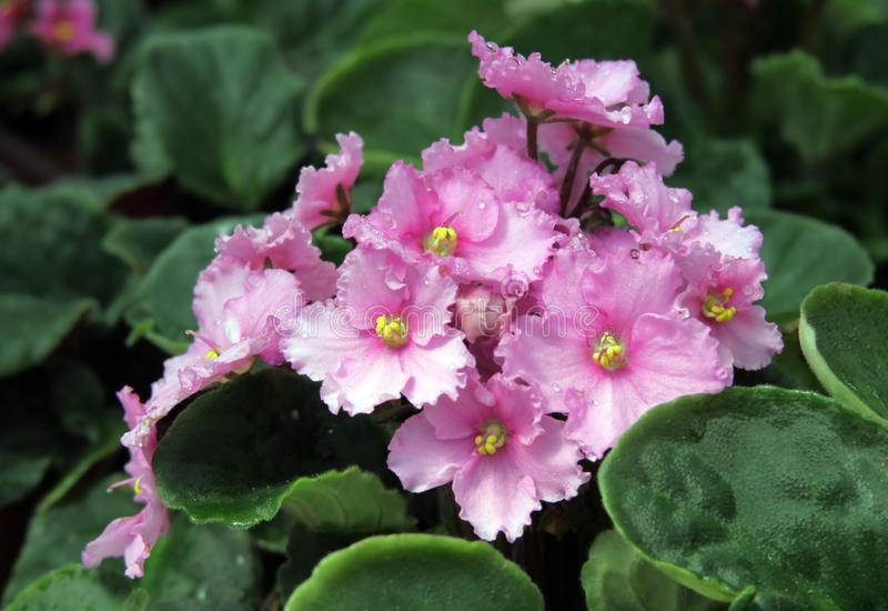 Saintpaulia. Blooming pink saintpaulia in pot royalty free stock photography