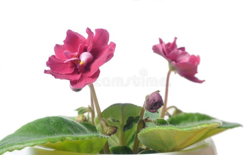 Download Saintpaulia stock image. Image of natural, frame, corner - 39514103