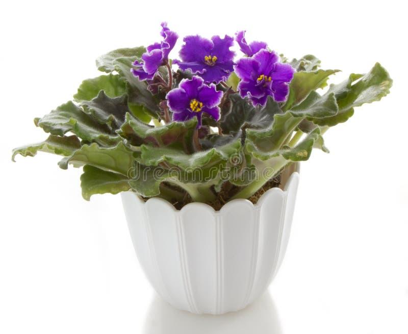 saintpaulia för blommablommakruka arkivfoto