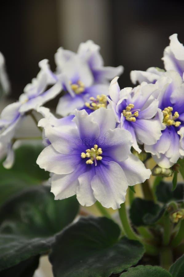 Saintpaulia` Humako flytta sig mycket långsamt `, royaltyfria foton