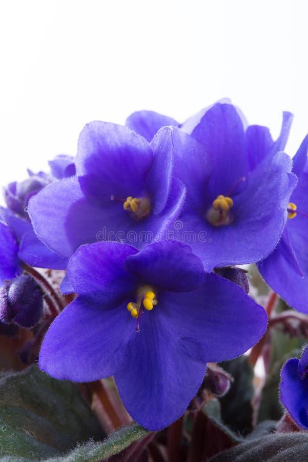 Saintpaulia ionantha lizenzfreie stockfotografie
