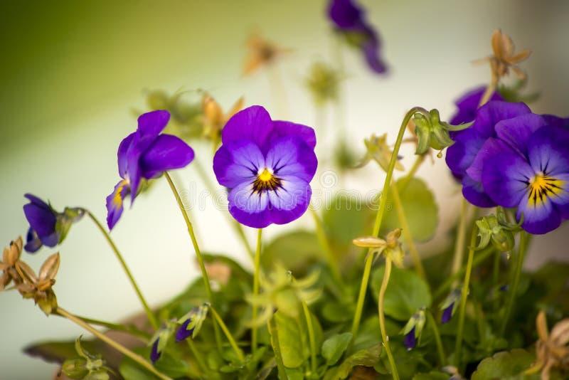 Saintpaulia också som är bekant som afrikansk Violet arkivfoto