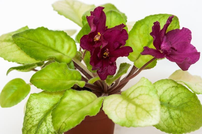 Saintpaulia varieties EC - Bullfight Gold E.Korshunova with beautiful dark maroon flowers. stock photography