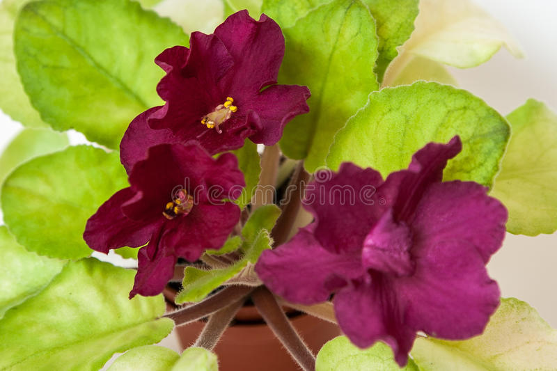 Saintpaulia varieties EC - Bullfight Gold E.Korshunova with beautiful dark maroon flowers. Close-up. stock photos