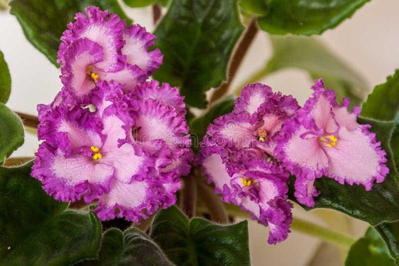 Saintpaulia varieties Lyon's Pirates Treasure with beautiful pink flowers a red border. Close-up. stock photos