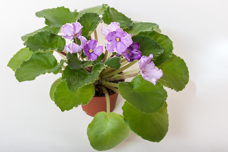 Saintpaulia varieties Sonata-Mail N.Solodkaya with beautiful light purple flowers. royalty free stock image