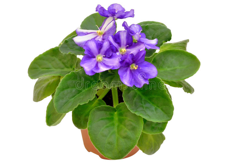Saintpauliablume im Blumenpotentiometer lizenzfreie stockfotos