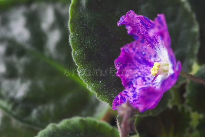 Saintpaulias de florescência, conhecidos geralmente como a violeta africana Mini Potted Plant Violeta Collectible imagens de stock royalty free