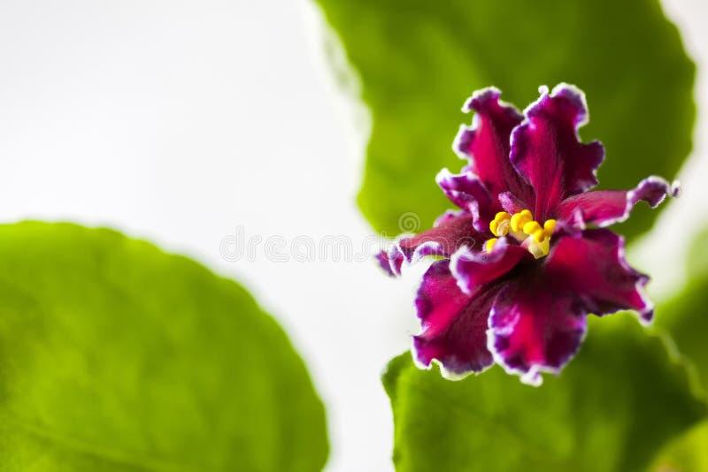 Saintpaulias florecientes, conocidos comúnmente como violeta africana Macro Brillantemente rubí, flores de terciopelo imagen de archivo libre de regalías