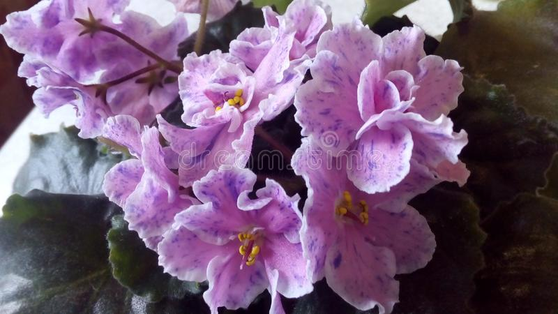 Flowering Saintpaulias, commonly known as African violet. Mini Potted plant. stock images