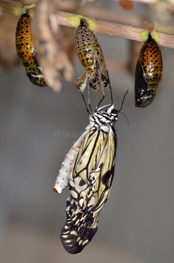 Sair exótico da borboleta de seu grub fotografia de stock royalty free