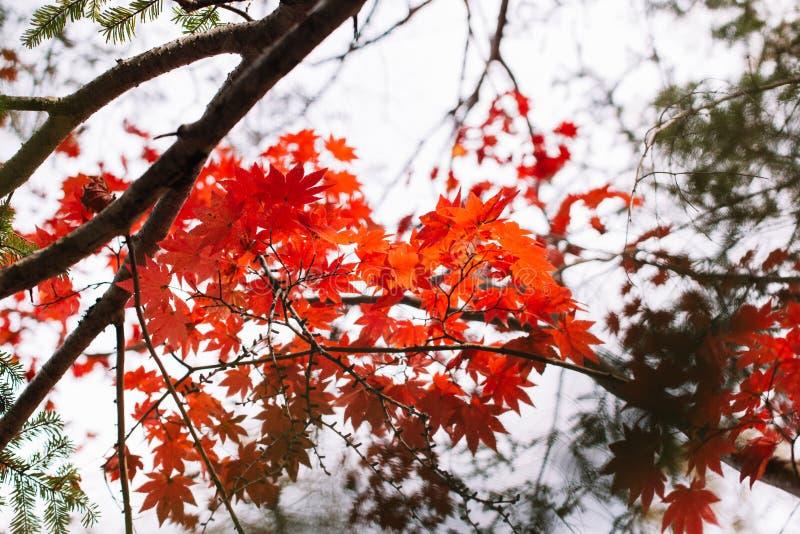 Saison d'automne et couleurs rouges des feuilles d'érable japonais photos stock