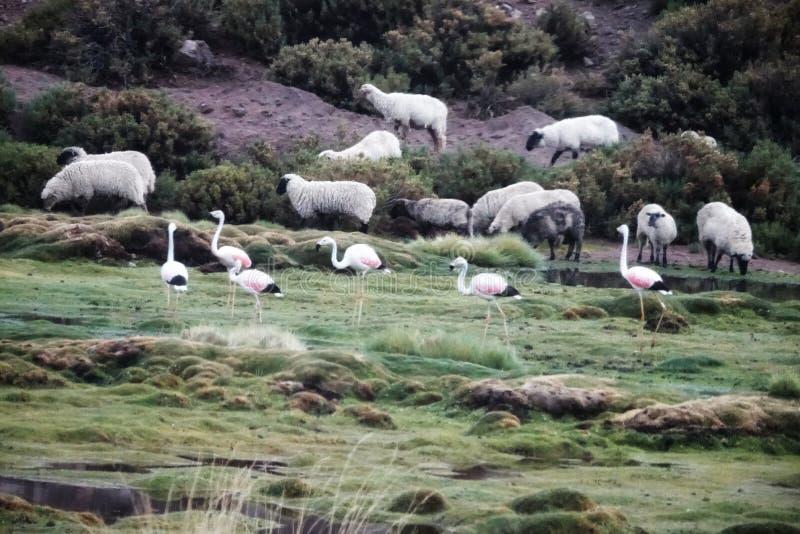 Saison de flamant dans Uyuni, Bolivie photos libres de droits