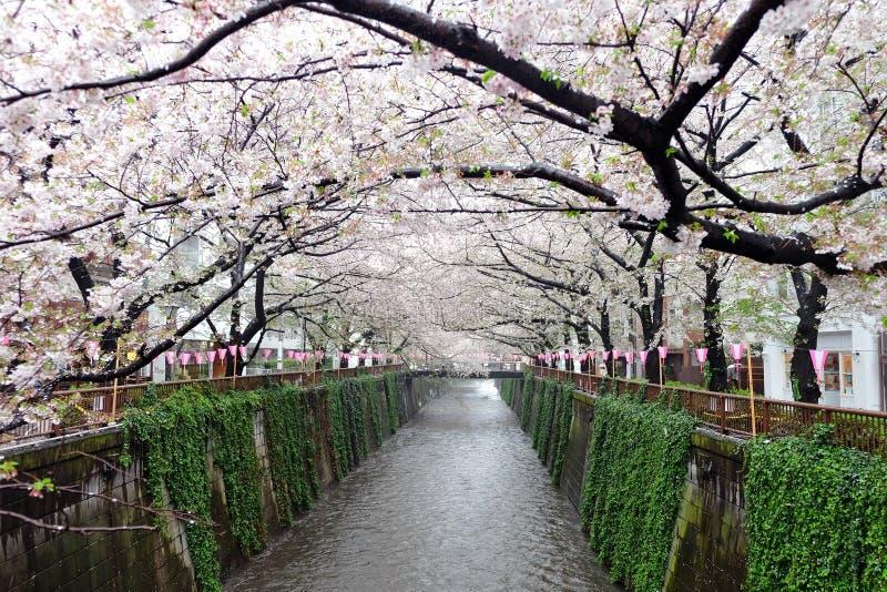 Saison de fleur de Sakura images libres de droits