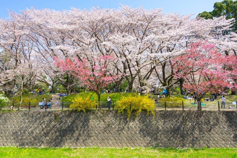 Saison de fleurs de cerisier dans Showa Kinen Koen image stock