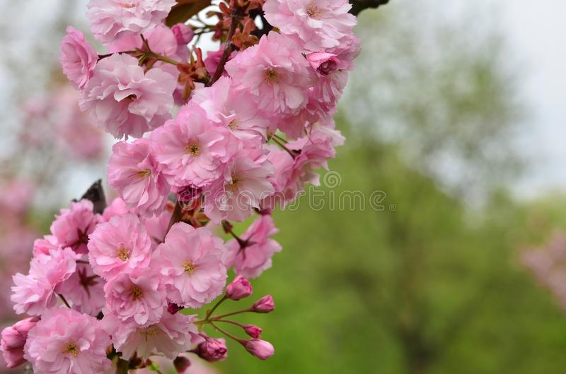 Saison de printemps Branche japonaise de cerisier dans la fleur image stock