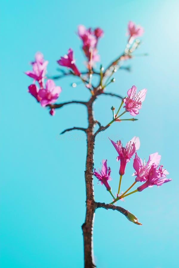 Saison de Sakura de fleurs de cerisier au printemps, Tokyo, Japon image stock