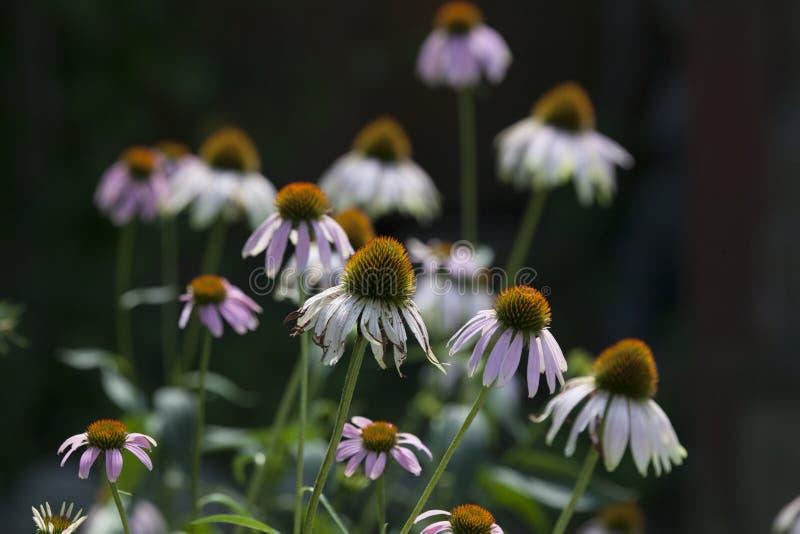 Saisons Flora Mid Summer Season Purple Coneflower images stock
