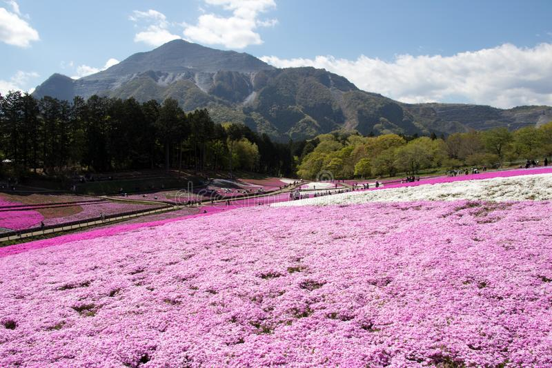 SAITAMA JAPAN - APR 28, 2017: Pink moss Shibazakura, Phlox subulata flower at Hitsujiyama Park in Saitama Prefecture, Kanto area. Japan. This is the famous royalty free stock photo