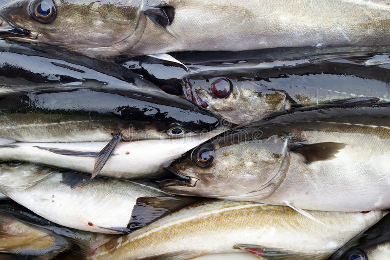 Saithe Fish. Fishing in Norway. Fresh Saithe Fish in boat Container royalty free stock image