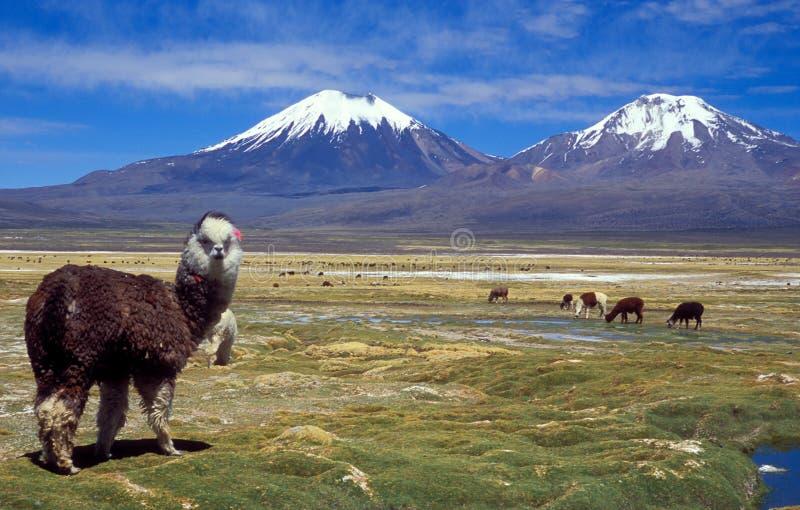 Sajama, Bolivien stockfotos