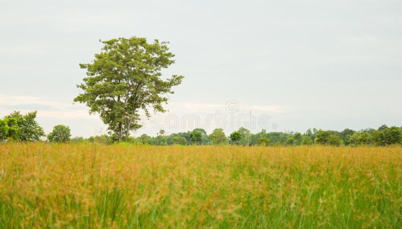 Sakae Tree stock fotografie