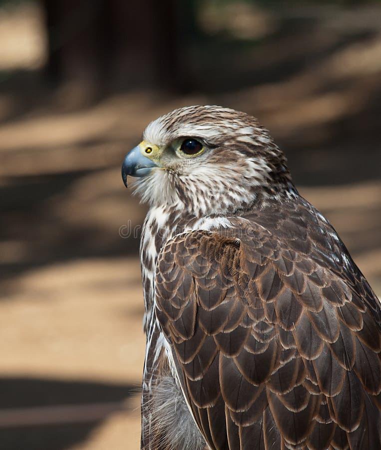 Free Saker Falcon Stock Photography - 26106452