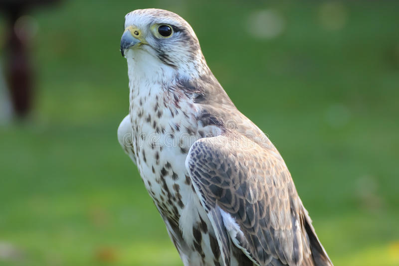 Saker falcon stock photo