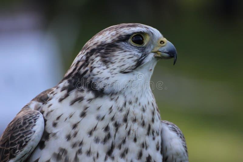 Saker falcon royalty free stock photo