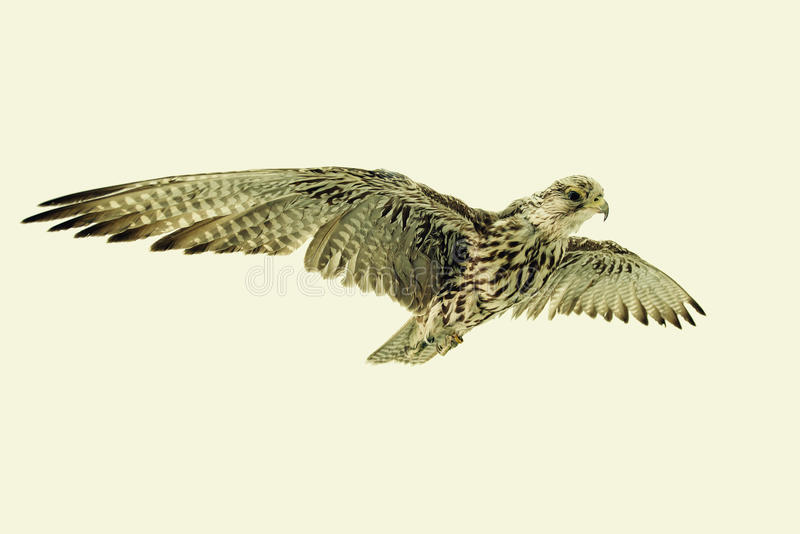 Saker Falcon in flight. On neutral background royalty free stock photography