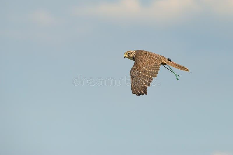 Download Saker Falcon In Flight Royalty Free Stock Image - Image: 33674156
