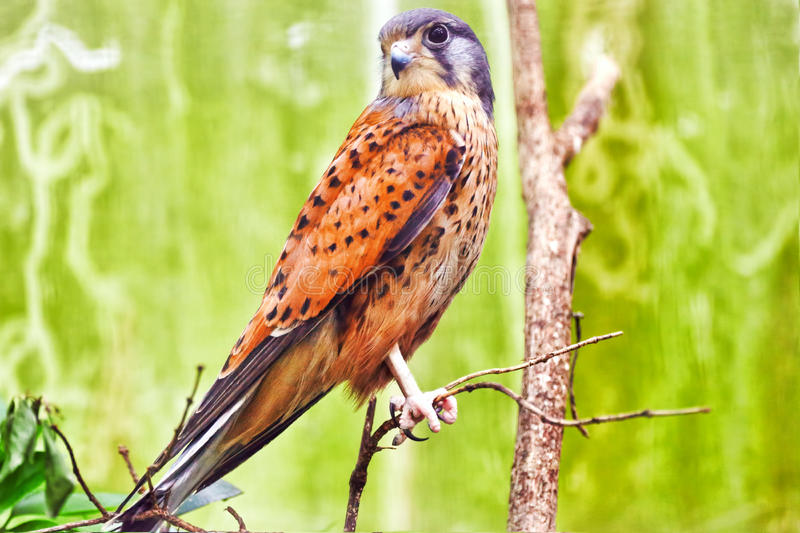 Saker falcon royalty free stock images