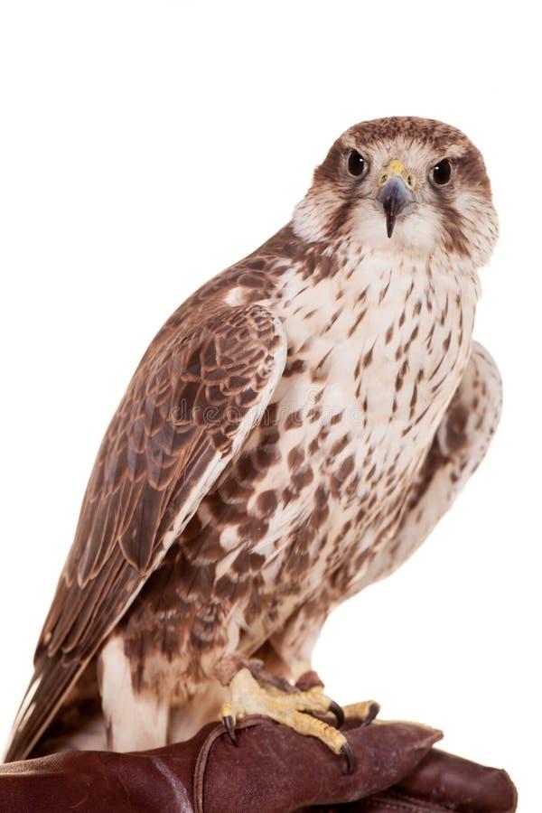 Free Saker Falcon Isolated On White Stock Image - 42182441