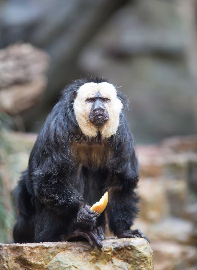 Saki au visage pâle dans le zoo photographie stock libre de droits