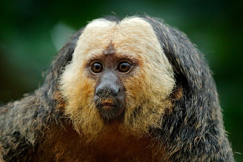 Saki Blanco-hecho frente, pithecia del Pithecia, retrato del detalle del mono del negro oscuro con la cara blanca, animal en el h foto de archivo