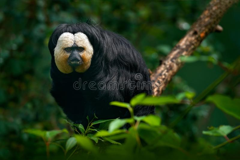 Saki Branco-enfrentado, pithecia do Pithecia, retrato do detalhe de macaco do preto escuro com cara branca, animal no habitat da  foto de stock royalty free