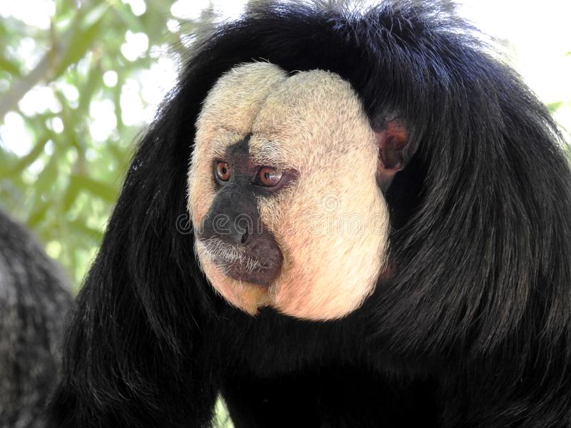 Saki de cara blanca - White-Faced Saki 01 stock photography