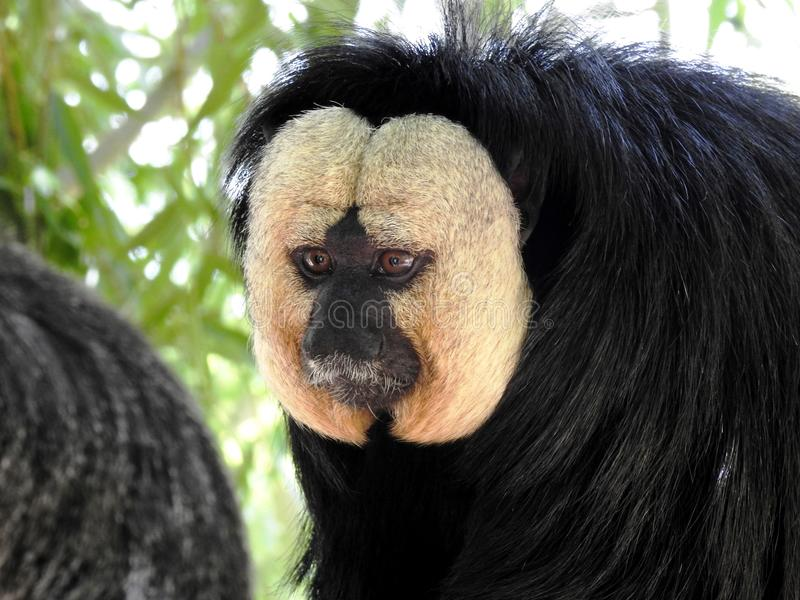 Saki de cara blanca - White-Faced Saki 01 royalty free stock images