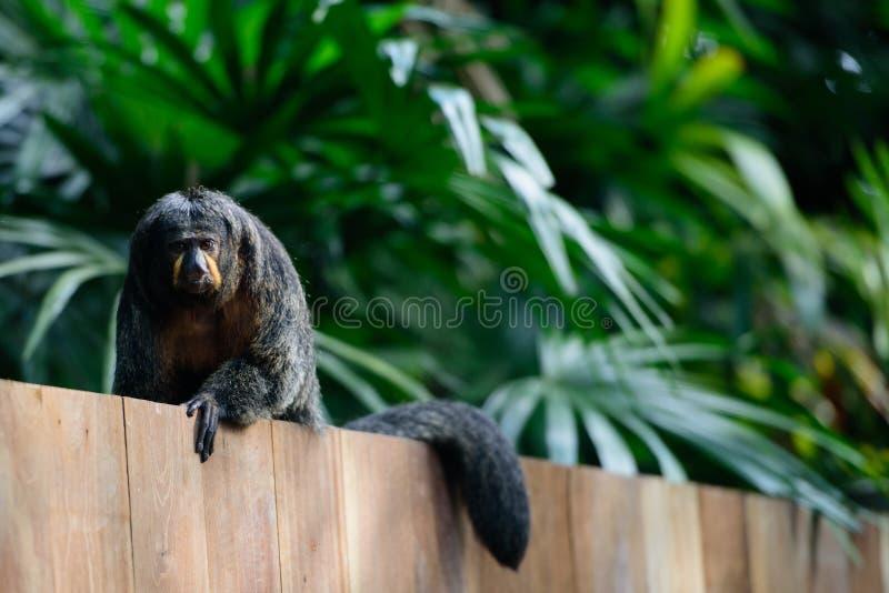 Saki małpa na drewnianej ścianie w Singapur zoo zdjęcie stock
