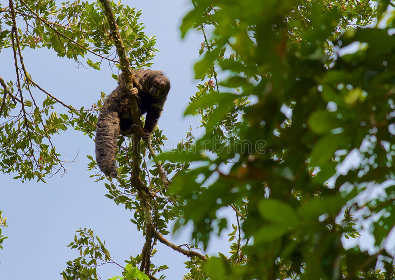 Saki Monkey 3 foto de stock
