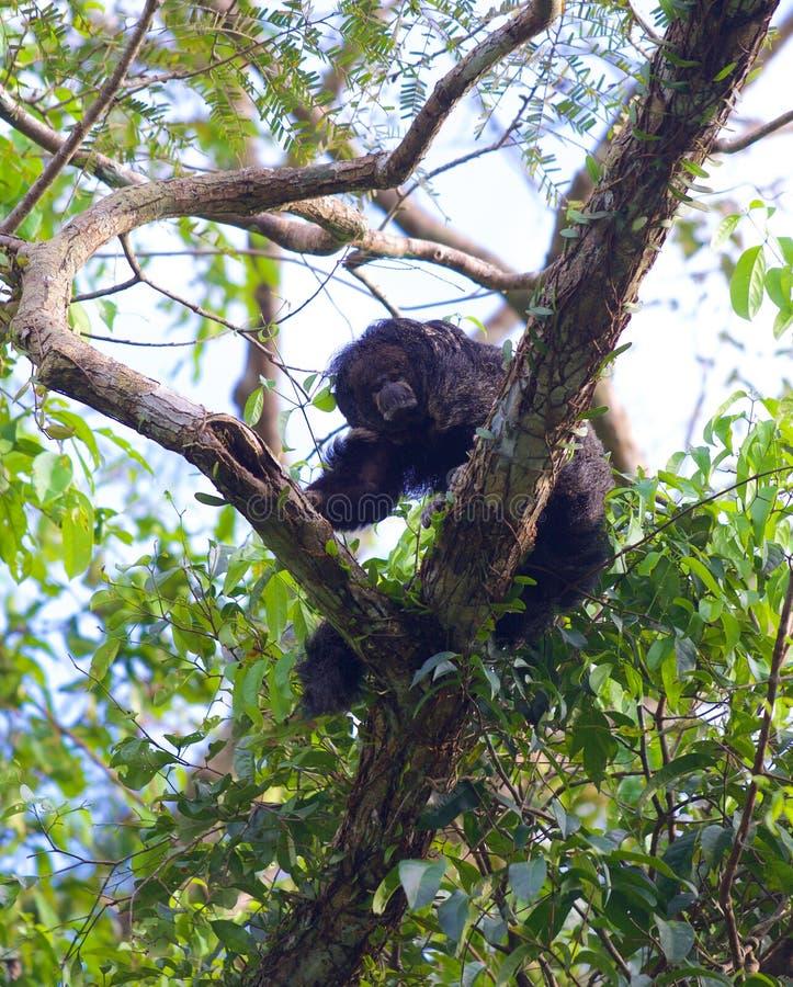 Saki Monkey 2 fotografia de stock