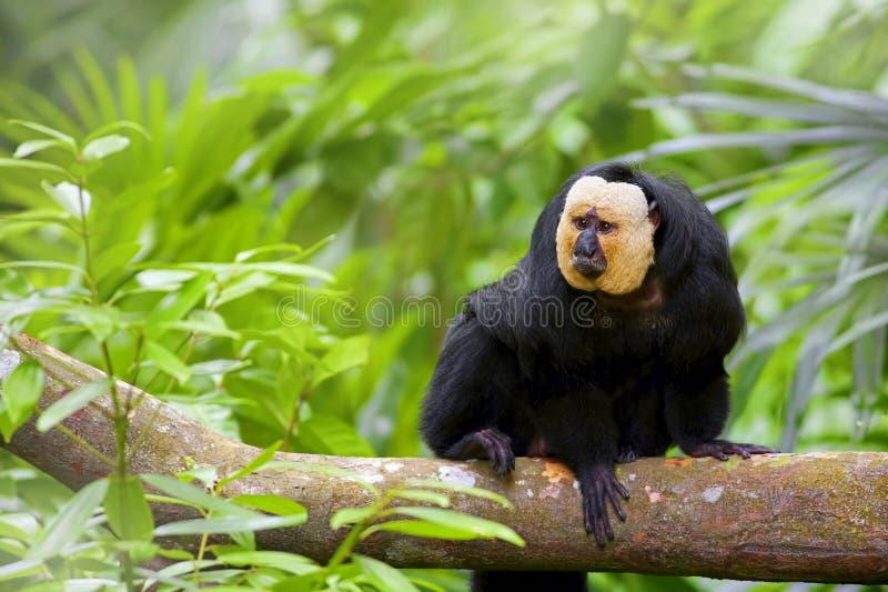Saki Monkey Branco-enfrentado foto de stock royalty free
