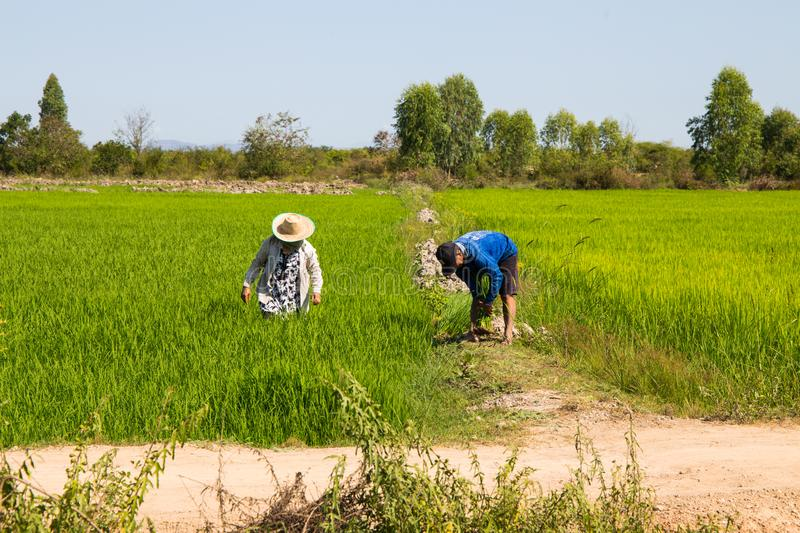 Farmers work in rice green fields in a sunny day, Thailand royalty free stock photo